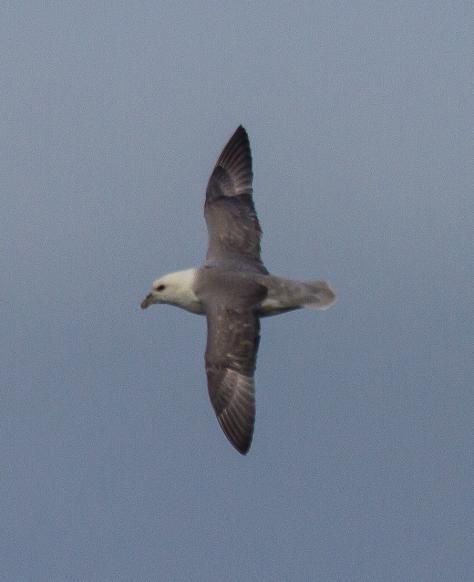 A Fulmar in flight